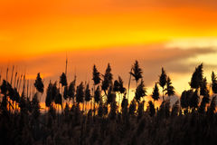reeds заход солнца Стоковое Фото