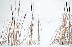 reeds зима места Стоковые Изображения