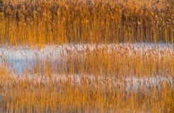 Reeds предпосылка стоковое фото rf