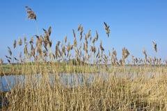 reeds река Стоковое Фото