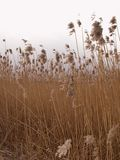 Reeds. Reed stock image