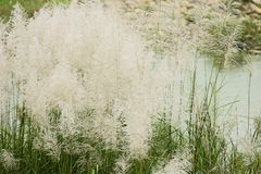 Reeds. Picture of flourishing blooming reeds Royalty Free Stock Images