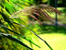 Reeds. A group of reeds - summertime royalty free stock image