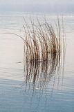 Reeds. Brown reeds in the autumn Royalty Free Stock Photography
