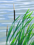 Reeds. Composition against water Stock Photography