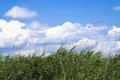 Reeds Royalty Free Stock Photography