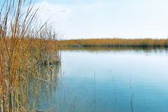 Reeds Stock Image