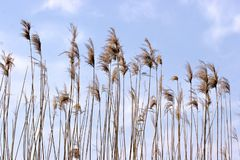 Reeds Stock Photo