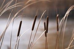 Reeds Stock Photos
