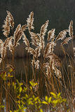 Reeds. Backlit Reeds with blurd background Stock Photos