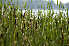 Reeds. A group of reeds Royalty Free Stock Photo