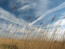 Reeds. Blowing in the wind Stock Image