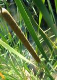 Reeds. Closeup of reeds in Creek stock photo