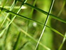 Reeds. Green Reeds Royalty Free Stock Image