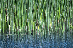 Reeds Royalty Free Stock Images