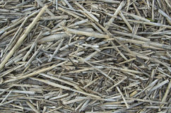 Reeds. Broken reeds on beach in South Carolina Stock Images