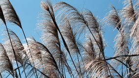 Reeds against blue sky. In summer wind on a sunny day Royalty Free Stock Image