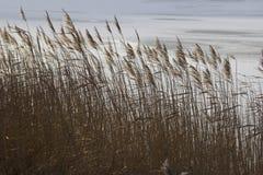 Reeds Stock Image