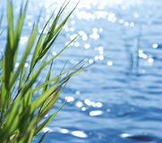 Reeds against lake background Royalty Free Stock Images