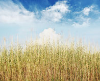 Reeds against the sky Royalty Free Stock Photography