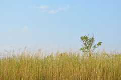 Reeds against the sky Stock Photography