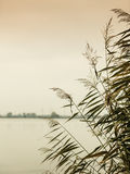 Reeds against water at lake shore Royalty Free Stock Photos