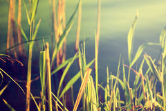 Reeds Against Water. Nature Background. stock photos