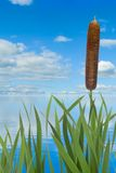 Reeds against the water and sky background Stock Images