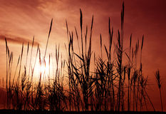 Reeds aganst a red sky. Silhouettes of reeds against a reddish and cloudy morning sky stock photography