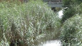 Reeds along a river bank stock video footage