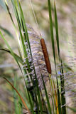 The reeds. Reeds along a river. Photo taken in the south of France Royalty Free Stock Images