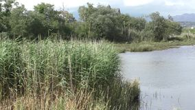 Reeds around a small Pool stock footage
