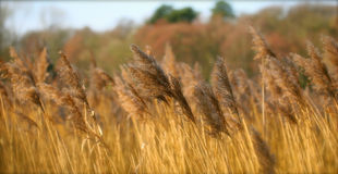 Reeds in the Autumn. Reeds blowing in the Autumn Breeze Royalty Free Stock Image