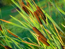 Reeds background Royalty Free Stock Images