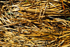 Reeds background Royalty Free Stock Photo