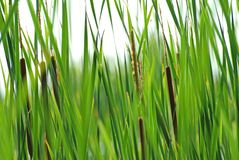 Reeds background. Green reeds in a pond Stock Images