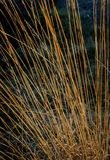 Reeds. Background with close up of reeds royalty free stock photo