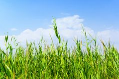 Reeds background Royalty Free Stock Image