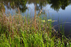 Reeds on the bank of the river Royalty Free Stock Photos