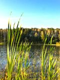 Reeds on the banks of a pond and green forest background, midday in sunny day with white clouds against the blue sky. Royalty Free Stock Image