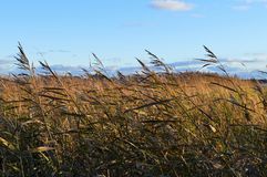 Reeds at the beach in strong wind. In the beach of Baltic ocean stock images