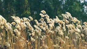 Reeds stock video