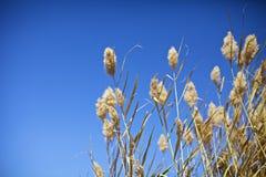 Reeds Royalty Free Stock Image