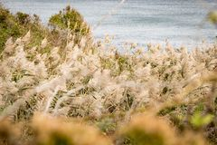 Reeds bending in the Autumn breeze, with the waves of the Atlantic Ocean in the background, Block Island, RI royalty free stock photos