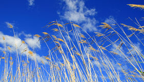Reeds blowing in the wind against a blue sky Royalty Free Stock Photography