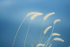 Reeds in the blue sky Stock Photos