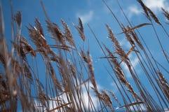 Reeds on blue sky background Royalty Free Stock Image