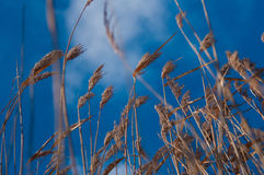 Reeds on blue sky background Royalty Free Stock Images