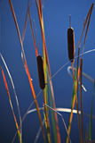 Reeds on the blue sky background Stock Photos