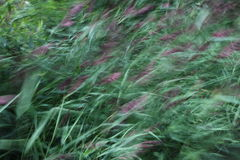 Reeds. Blurred reeds on a windy day Royalty Free Stock Photo